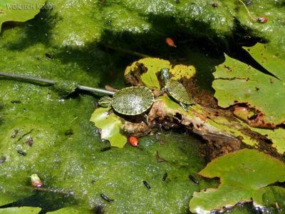 x115-W Gran Cenote - miniaturowy żółwik