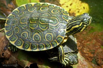 x118-W Gran Cenote - miniaturowy żółwik