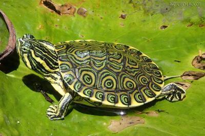 x121-W Gran Cenote - miniaturowy żółwik
