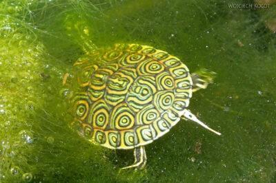 x123-W Gran Cenote - miniaturowy żółwik