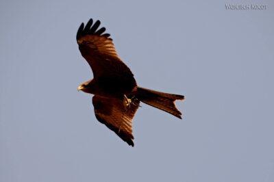 Et03042-Okolice wodospadu Blue Nile-ptaki-orzeł