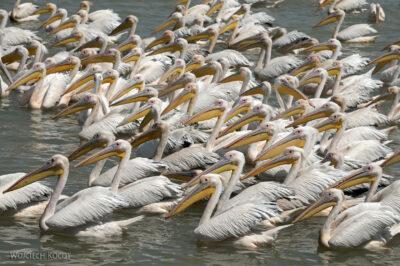 Et03155-Pelikany wBahar Dar