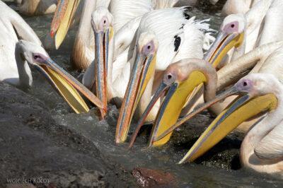 Et03163-Pelikany wBahar Dar