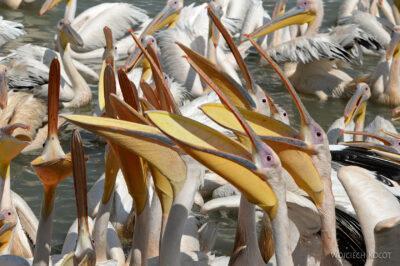Et03166-Pelikany wBahar Dar