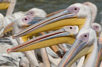 Et03168-Pelikany wBahar Dar
