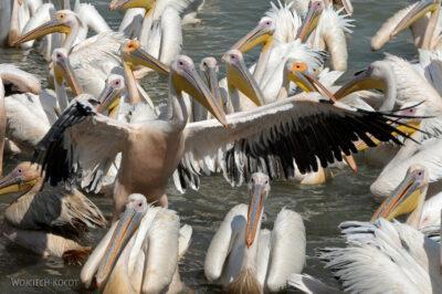 Et03169-Pelikany wBahar Dar