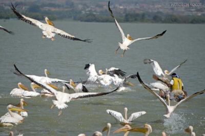 Et03172-Pelikany wBahar Dar