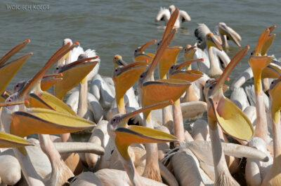 Et03191-Rejs poLake Tana-pelikany
