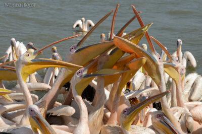 Et03192-Rejs poLake Tana-pelikany