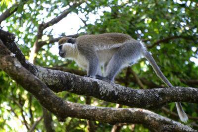 Et03209-Na płw. Zege Peninsula-małpy
