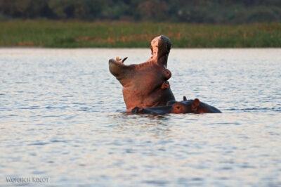 Et03312-Rejs poLake Tana-Hipopotamy