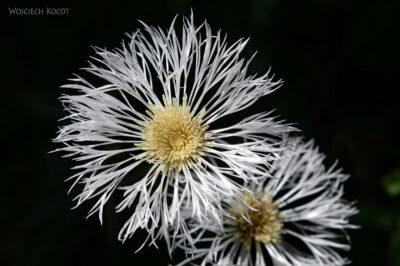 Et06020-Góry-Simien-treking-kwiatki