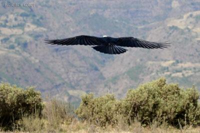 Et06049-Góry-Simien-treking-ptak Kruk Grubodzioby