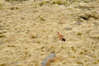 Et06126-Góry-Simien-treking-Wilk Etiopski