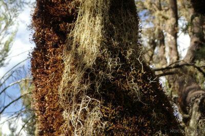 Et07023-Góry-Simien-treking-porosty