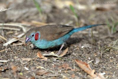 Et04182-Gonder-Falisidas' Bath-ptak Motylik Krasnouchy