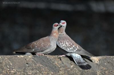 Et04189-Gonder-Falisidas' Bath-ptak Gołąb Okularowy