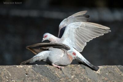 Et04196-Gonder-Falisidas' Bath-ptak Gołąb Okularowy