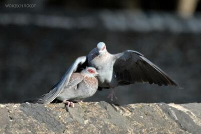 Et04197-Gonder-Falisidas' Bath-ptak Gołąb Okularowy