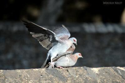 Et04199-Gonder-Falisidas' Bath-ptak Gołąb Okularowy