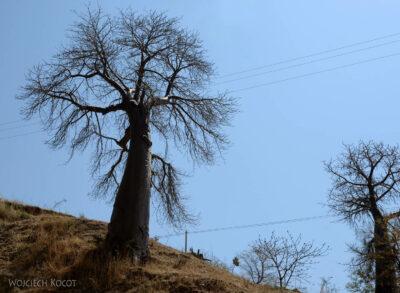 Et08081-Po drodze doAksum-baobaby