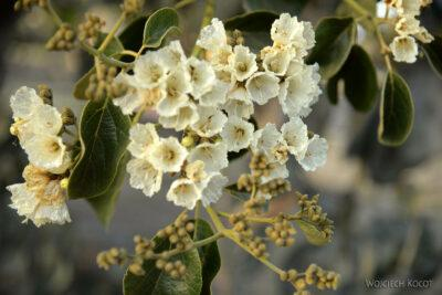 Et08186-Aksum-kwitnące drzewo