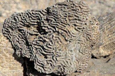 Et13092-Danakil 3-skamieniałe kolalowce