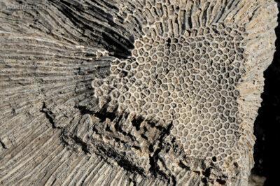 Et13094-Danakil 3-skamieniałe kolalowce