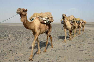 Et13116-Danakil 3-karawana solna-wielbłądy