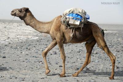 Et13118-Danakil 3-karawana solna-wielbłądy