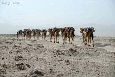Et13120-Danakil 3-karawana solna-wielbłądy
