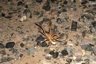 Et13226-Danakil 3-nocny wielki pająk