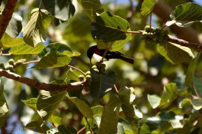 Et16138-Lalibela-ptak-nektarnik