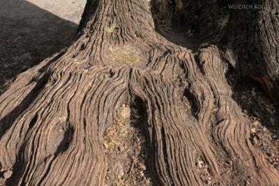 Et16208-Lalibela-stare drzewo