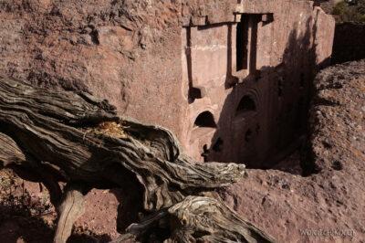 Et16210-Lalibela-stare drzewo
