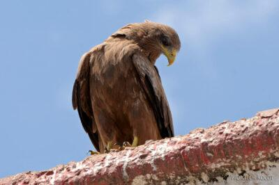 Et16099-Harar-ptak-Orzeł Sawannowy