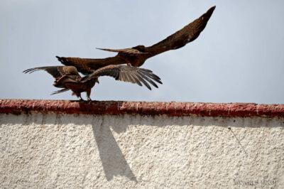 Et16101-Harar-ptak-Orzeł Sawannowy