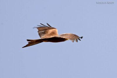 Et16105-Harar-ptak-Orzeł Sawannowy
