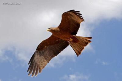 Et16111-Harar-ptak-Orzeł Sawannowy