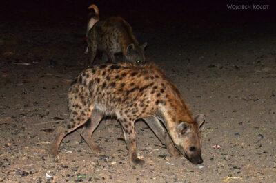 Et16209-Harar-karmienie hien