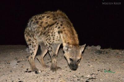 Et16211-Harar-karmienie hien