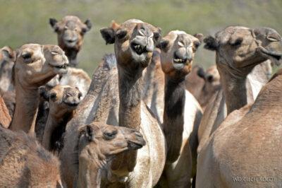 Et17077-Wielbłądy
