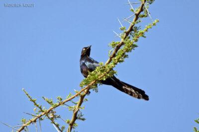 Et17127-Hot Springs-gorące źródła-ptak-Błyszczak Stalowy