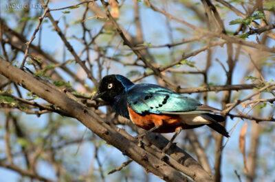 Et17141-Hot Springs-gorące źródła-ptak-Błyszczak Rudobrzuchy