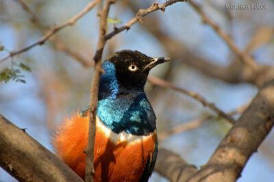 Et17142-Hot Springs-gorące źródła-ptak-Błyszczak Rudobrzuchy