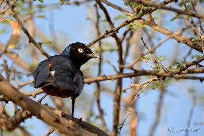 Et17144-Hot Springs-gorące źródła-ptak-Błyszczak Rudobrzuchy