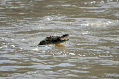 Et19019-Awash National Park-krokodyl