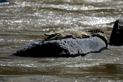 Et19024-Awash National Park-krokodyl
