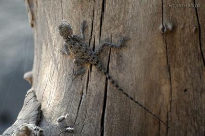 Et19036-Awash National Park-jaszczurka