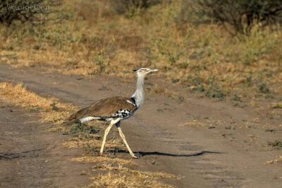 Et19059-Awash National Park-ptak-kuglarz kori